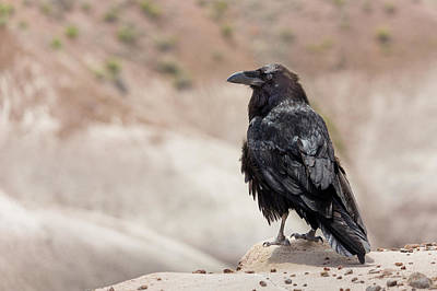 Raven Of The Petrified Forest Art Print by Penny Meyers