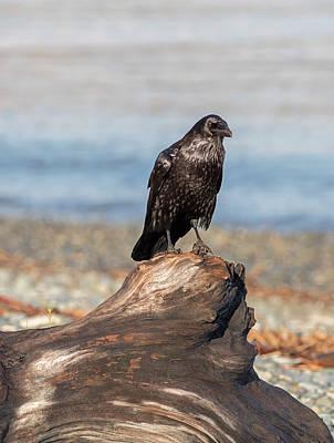 Photograph - Raven On Driftwood by Loree Johnson