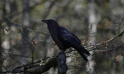 Photograph - Raven - The Dark Bird by rd Erickson