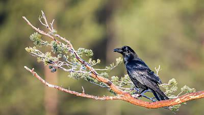Pine Needles Photograph - Raven by Torbjorn Swenelius