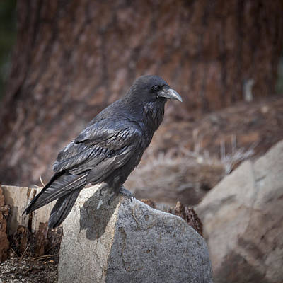 Photograph - Raven by Tyson Smith