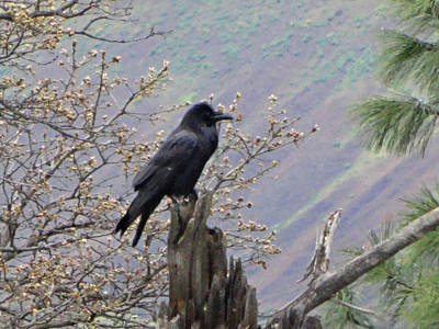 Photograph - Raven's Perch by Jacqueline  DiAnne Wasson