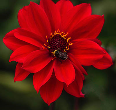 Photograph - Ravishing Red Dahlia With Bee by Venetia Featherstone-Witty