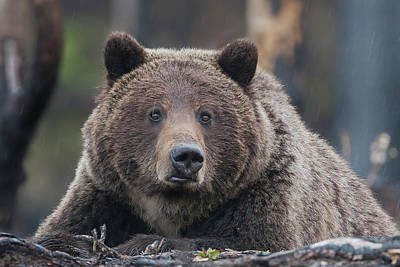 Photograph - Raw, Rugged And Wild- Grizzly by Mark Miller
