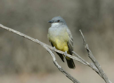 Kingbird Photograph - Ray Of Sunshine by Fraida Gutovich