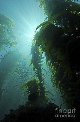 The Rolling Stones Royalty Free Images - Rays Of Light Shining Through A Kelp Royalty-Free Image by Brent Barnes
