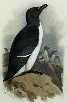 Balck Art Painting - Razorbill by Archibald Thorburn