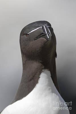 Razorbill Photograph - Razorbill by Karen Van Der Zijden