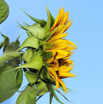 Reaching Sunflower Art Print