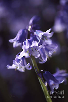 Photograph - Reaching Bluebells by Joy Watson