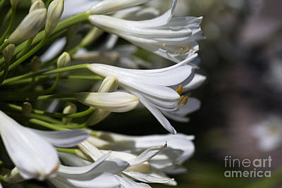 Photograph - Reaching Out Agapanthus by Joy Watson