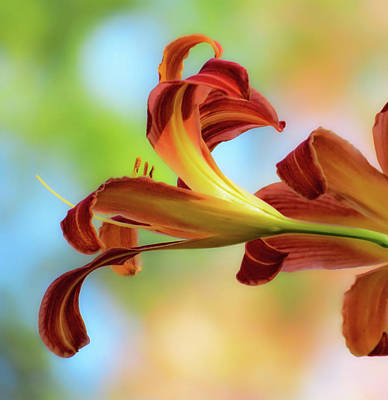 Photograph - Reaching Out - Daylilies by MTBobbins Photography