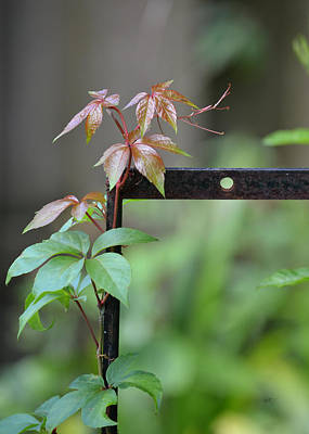 Photograph - Reaching Out - Virginia Creeper by rd Erickson