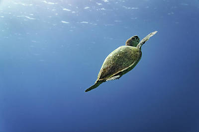Turtle Photograph - Reaching To The Surface - Hawksbill Sea Turtle  by Ellie Teramoto