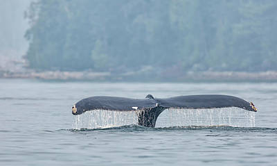 Photograph - Read Island Humpback by Randy Hall