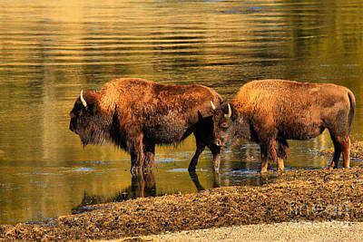 Photograph - Ready To Cross The Yellowstone by Adam Jewell