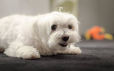Toy Maltese Photograph - Ready To Play by Joshua Spiegler