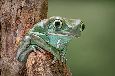 Photograph - Ready To Walk - Waxy Monkey Tree Frog by Nikolyn McDonald