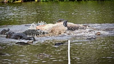 Photograph - Real Alligator Wrestling by Carol Bradley