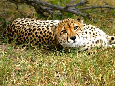 Photograph - Reclining Cheetah by Karen Zuk Rosenblatt