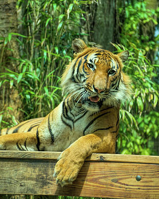 Tiger Photograph - Reclining Tiger by Artful Imagery