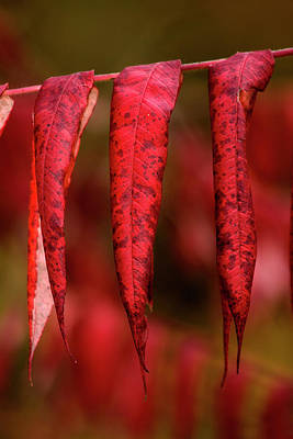 Photograph - Red - Rouge by Michel Legare