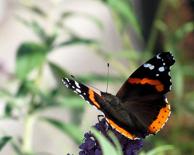 Photograph - Red Admiral Butterfly 2 by George Jones