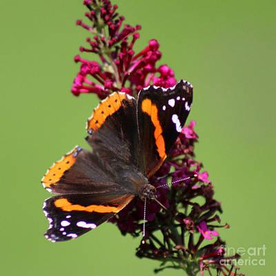 Photograph - Red Admiral Butterfly 2015 by Karen Adams