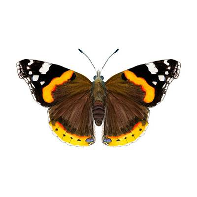 Painting - Red Admiral Butterfly by Alison Langridge