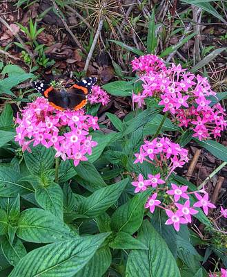 Photograph - Red Admiral Butterfly by Anne Sands