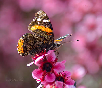 Tea Tree Flower Photograph - Red Admiral Butterfly by Brian Tada