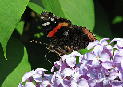 Red Admiral Butterfly Art Print by Deborah Johnson