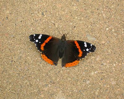 Photograph - Red Admiral Butterfly by George Jones