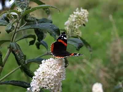 Photograph - Red Admiral Butterfly by Richard Brookes