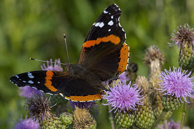 Photograph - Red Admiral Butterfly by Ron Grafe