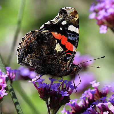 Photograph - Red Admiral Butterfly Vanessa Atalanta by Paul Cowan