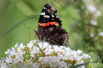 Photograph - Red Admiral Butterfly Ventral View by Karen Adams