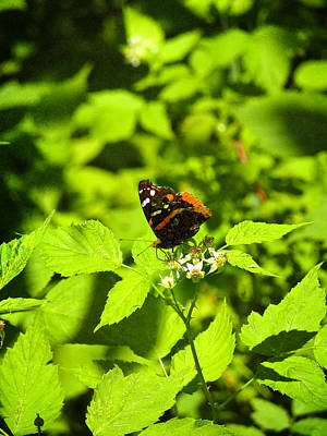 Photograph - Red Admiral In Ohio by Shawna Rowe