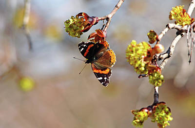 Photograph - Red Admiral In Spring by Debbie Oppermann