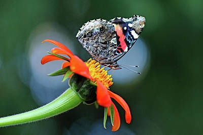 Photograph - Red Admiral In The Spotlight by Debbie Oppermann