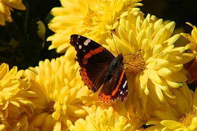 Photograph - Red Admiral by Kathryn Meyer