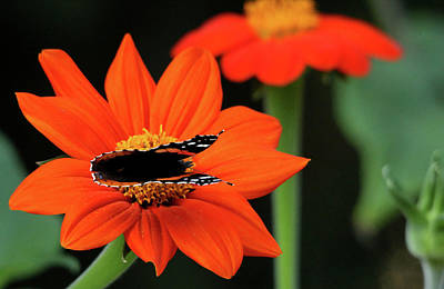 Photograph - Red Admiral Nectaring On Tithonia by Debbie Oppermann