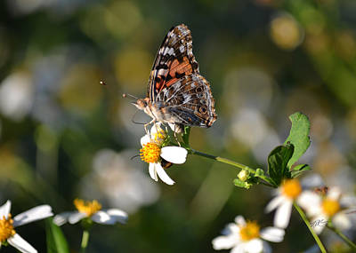 Photograph - Red Admiral On Biden's Alba by rd Erickson