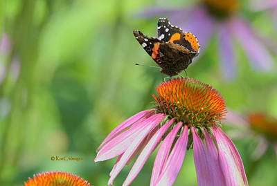 Red Admiral On Cone Flower Art Print