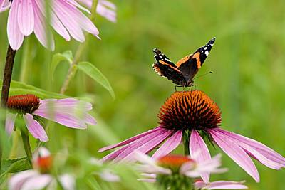 Photograph - Red Admiral On Cone Flower by Larry Ricker