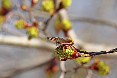 Photograph - Red Admiral On Maple Bud by Debbie Oppermann