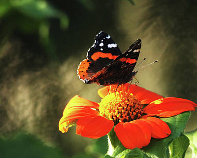 Photograph - Red Admiral On Tithonia by Debbie Oppermann