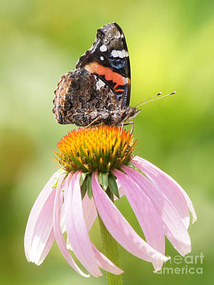 Photograph - Red Admiral Sails On Cone Flower by Robert E Alter Reflections of Infinity