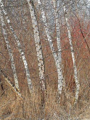 Photograph - Red Alder In Winter by Lynn Wohlers
