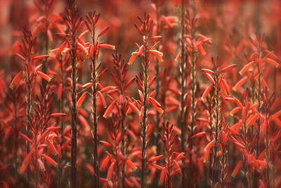 Photograph - Red Aloe Abstract  by Saija Lehtonen